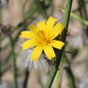 Photographie n°271323 du taxon Chondrilla juncea L. [1753]