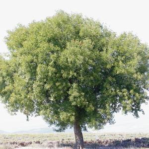 Photographie n°271370 du taxon Acer monspessulanum L. [1753]