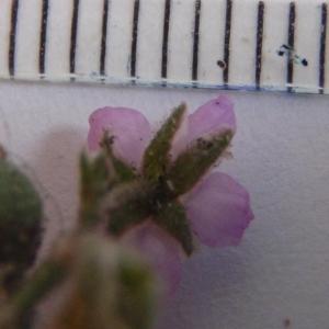 Photographie n°271471 du taxon Spergula rubra (L.) D.Dietr. [1840]