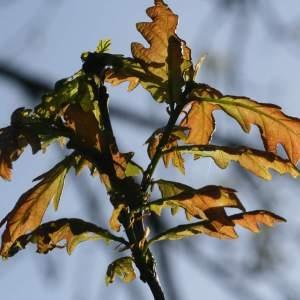 Photographie n°271539 du taxon Quercus robur L. [1753]