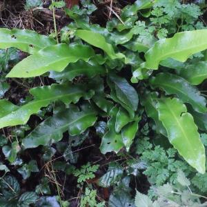Photographie n°271576 du taxon Asplenium scolopendrium L. [1753]