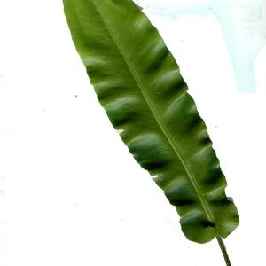 Photographie n°271580 du taxon Asplenium scolopendrium L. [1753]