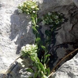 Photographie n°271773 du taxon Telephium imperati L.