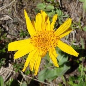 Arnica montana var. alternifolia Cariot & St.-Lag. (Arnica)