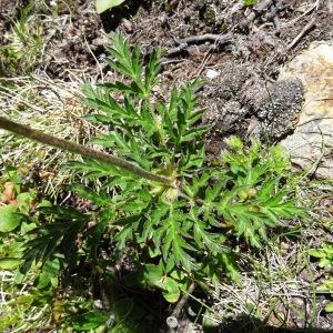 Photographie n°271814 du taxon Anemone alpina subsp. apiifolia (Scop.) O.Bolòs & Vigo [1974]