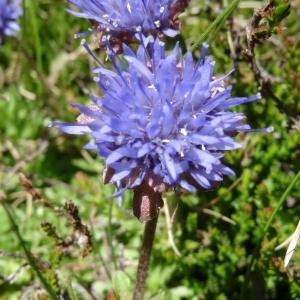 Jasione crispa (Pourr.) Samp. subsp. crispa (Jasione crépue)