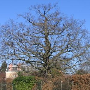 Photographie n°271870 du taxon Quercus sessiliflora Salisb. [1796]