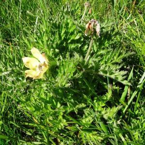 Photographie n°272004 du taxon Anemone alpina subsp. apiifolia (Scop.) O.Bolòs & Vigo [1974]