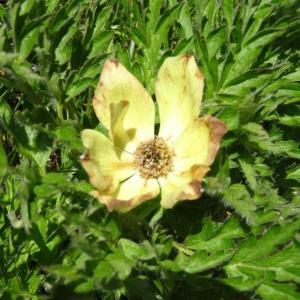 Photographie n°272005 du taxon Anemone alpina subsp. apiifolia (Scop.) O.Bolòs & Vigo [1974]