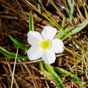 Photographie n°272037 du taxon Ranunculus angustifolius DC. [1808]