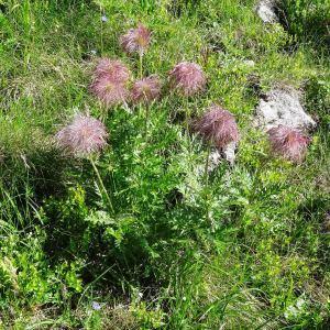 Photographie n°272089 du taxon Anemone alpina subsp. apiifolia (Scop.) O.Bolòs & Vigo [1974]