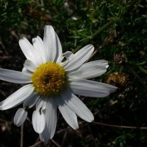 Photographie n°272178 du taxon Tripleurospermum inodorum (L.) Sch.Bip. [1844]