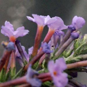 Photographie n°272292 du taxon Buddleja davidii Franch. [1887]