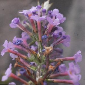 Photographie n°272293 du taxon Buddleja davidii Franch. [1887]