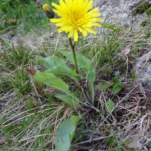 Photographie n°272376 du taxon Willemetia stipitata subsp. stipitata