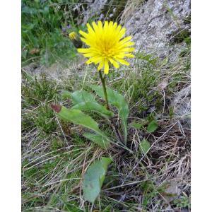 Willemetia stipitata (Jacq.) Dalla Torre subsp. stipitata