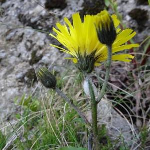 Photographie n°272378 du taxon Willemetia stipitata subsp. stipitata