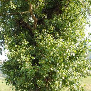 Photographie n°272588 du taxon Populus nigra