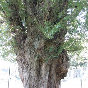 Photographie n°272605 du taxon Populus nigra