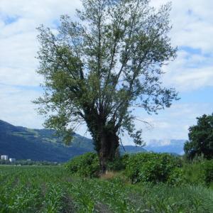 Photographie n°272667 du taxon Populus nigra