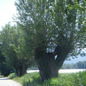 Photographie n°272680 du taxon Populus nigra