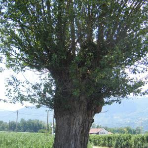 Photographie n°272681 du taxon Populus nigra
