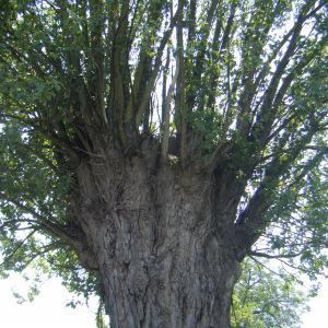 Photographie n°272683 du taxon Populus nigra