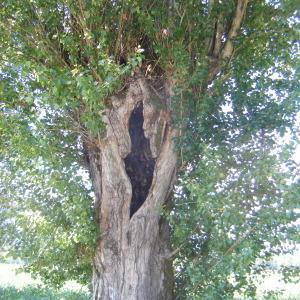 Photographie n°272697 du taxon Populus nigra