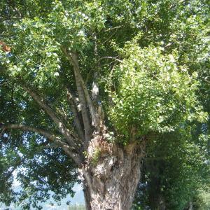 Photographie n°272698 du taxon Populus nigra