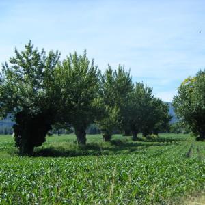 Photographie n°272700 du taxon Populus nigra