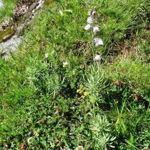 Photographie n°273027 du taxon Linaria repens (L.) Mill. [1768]