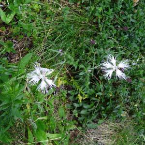 Dianthus superbus L. subsp. superbus (Oeillet à plumet)
