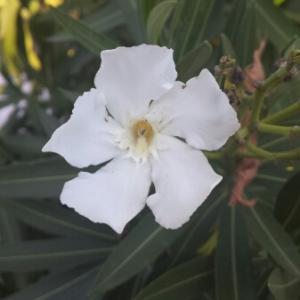 Photographie n°273262 du taxon Nerium oleander L. [1753]