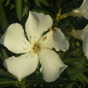 Photographie n°273263 du taxon Nerium oleander L. [1753]