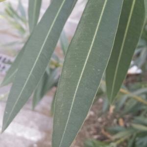 Photographie n°273264 du taxon Nerium oleander L. [1753]