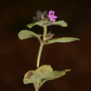 Photographie n°273273 du taxon Clinopodium vulgare L. [1753]