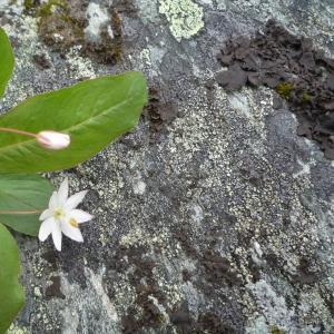 Photographie n°273343 du taxon Lysimachia europaea (L.) U.Manns & Anderb. [2009]