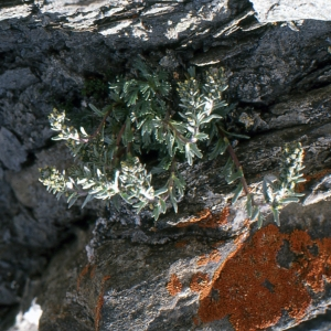 Photographie n°273454 du taxon Artemisia genipi Weber [1775]