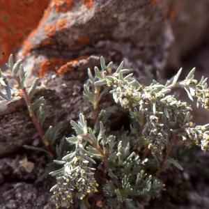 Photographie n°273455 du taxon Artemisia genipi Weber [1775]