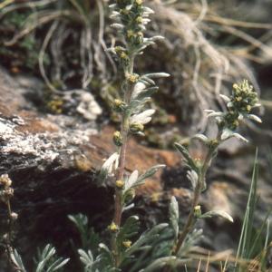 Photographie n°273457 du taxon Artemisia genipi Weber [1775]