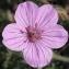 Marie  Portas - Erodium petraeum (Gouan) Willd. [1800]