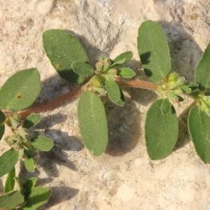 Photographie n°273630 du taxon Euphorbia prostrata Aiton