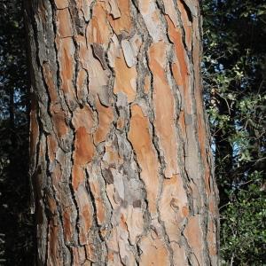 Photographie n°273643 du taxon Pinus halepensis Mill. [1768]