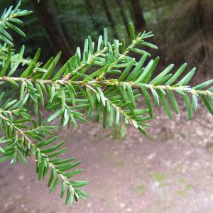 Tsuga heterophylla (Raf.) Sarg. (Tsuga de Californie)