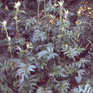 Photographie n°273697 du taxon Cirsium oleraceum (L.) Scop. [1769]
