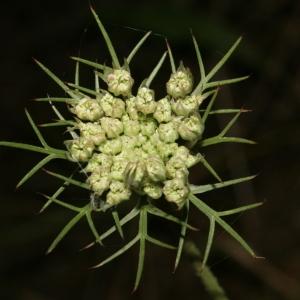 Photographie n°273826 du taxon Daucus carota subsp. carota