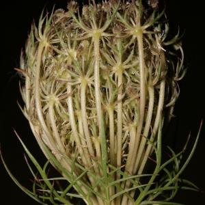 Photographie n°273842 du taxon Daucus carota subsp. carota