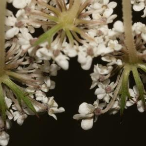 Photographie n°273843 du taxon Daucus carota subsp. carota