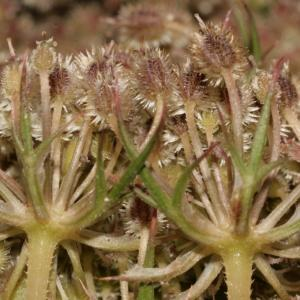Photographie n°273845 du taxon Daucus carota subsp. carota