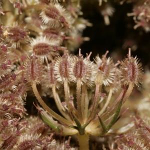 Photographie n°273846 du taxon Daucus carota subsp. carota